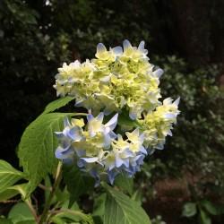6月パン 紫陽花(新茶+高きび)ブレッド・ベーグル